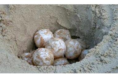 Turtles eggs in Rimigliano