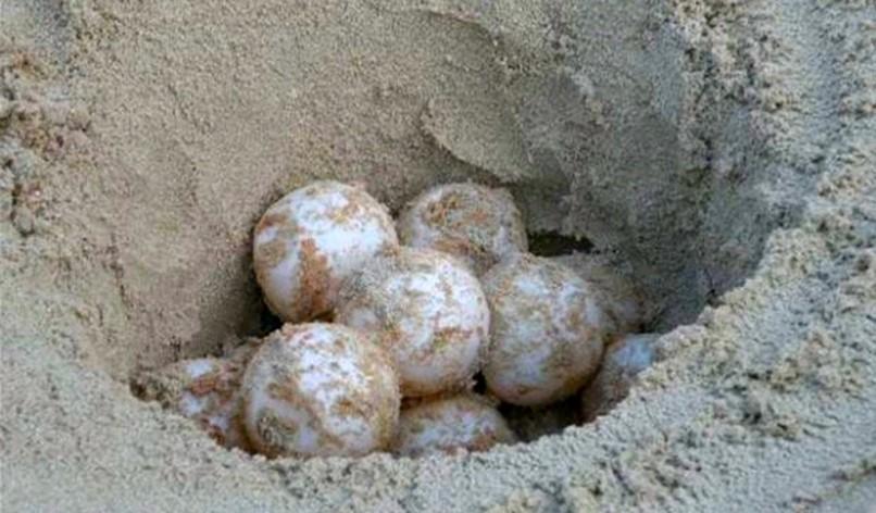 Uova di tartarughe a Rimigliano