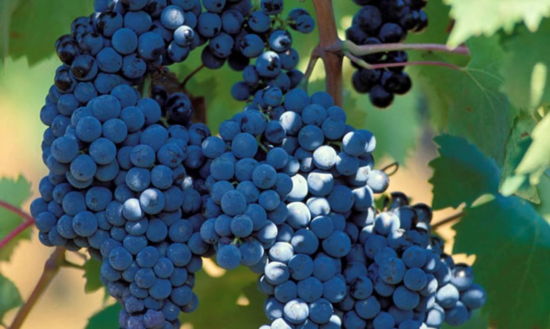 Aziende Vinicole Maremma alta