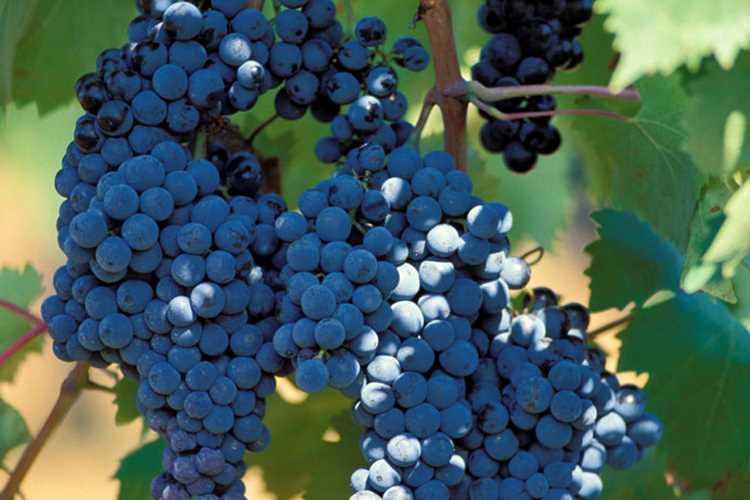 aziende vinicole Maremma alta Gavorrano