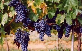 Wijn vennootschap Azienda Bruni Fonteblanda