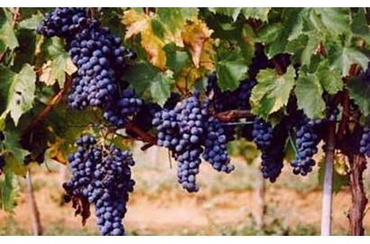 aziende vinicole Azienda Bruni