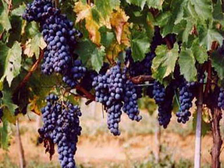 Winery Azienda Bruni Fonteblanda